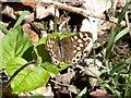 SE2805 : Speckled Wood butterfly by John Fielding