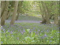 ST6358 : Bluebells in Greyfield Woods by Richard Wilton