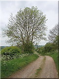 SP8316 : Ash tree just in leaf, Bierton by David Hawgood