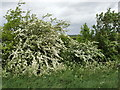 SP8817 : Hawthorn hedge by Alnwick Drive by David Hawgood
