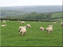 SW9963 : Lambs on the hill by Jonathan Billinger