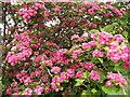 H3320 : Pink hawthorn by Jonathan Billinger