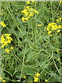 SP8126 : Oil seed rape, seed pods developing. by David Hawgood