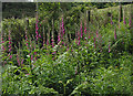SO6920 : Ranks of  foxgloves by Pauline Eccles