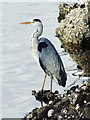 NS2072 : Heron at Kip Marina by Thomas Nugent