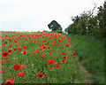 SJ9403 : Poppies on the Monarch's Way, near Essington, Staffordshire by Roger  Kidd