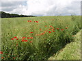 SP6910 : Oilseed rape field with poppies by David Hawgood