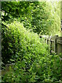SD7811 : Footpath overgrown with nettles! by liz dawson