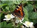 SE2910 : Tortoise Shell Butterfly by John Fielding