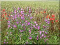 TR2054 : Mallow and poppies at edge of wheat field by Nick Smith