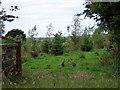 SN1734 : Guinea fowl guardians by ceridwen
