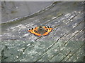 SD7919 : Small Tortoiseshell by liz dawson