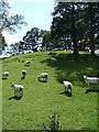 SJ1508 : Sheep at Cefn du uchaf by Penny Mayes