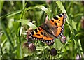 H4772 : Butterfly at Cranny, Omagh by Kenneth Allen