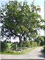 SJ7865 : Beech tree by Mill Lane by Jonathan Billinger