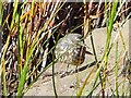 NS0320 : Rock pipit in the grass at Kildonan by Gordon Brown