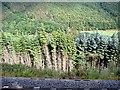 SN7377 : Trees In The Rheidol Valley by John Lucas