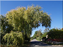 ST3422 : Willow over the lane at Stowey Farm by Derek Harper