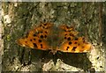 SJ3999 : Comma (Polygonia c-album), Melling by Mike Pennington