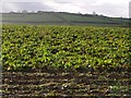 SX2993 : Field of beet by Derek Harper