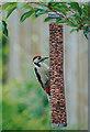 SJ7568 : Great spotted woodpecker helps itself by Pauline E