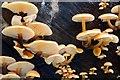 J4681 : Winter fungus, Crawfordsburn Glen : Week 1