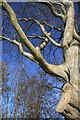 NT5334 : A Tweedside beech tree : Week 4