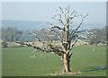 ST7066 : 2008 : Dead oak tree, Kelston Park by Maurice Pullin