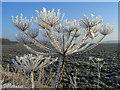SU4186 : Frosty hogweed near Lockinge : Week 7