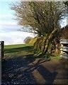 SX2685 : Gorse on hedge, Red Down by Derek Harper