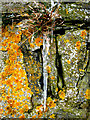 NJ9926 : Newburgh: Lichens and icicle on Knockhall Castle by Martyn Gorman