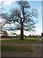SK6304 : Landmark  Tree, Uppingham Road, Leicester by Michael Trolove