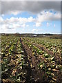 SW7630 : Field of cauliflower ('broccolli' in the local vernacular) after harvesting by Rod Allday