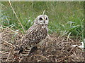 TF1463 : Short Eared Owl by Ian Paterson