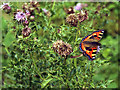 SD8847 : Tortoiseshell butterfly on creeping thistle by Dr Neil Clifton