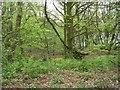 SE1935 : Woodhall Plantation - Woodhall Lane by Betty Longbottom