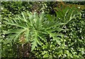 SX3777 : Leaves of Giant Hogweed by Derek Harper