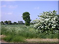 TL4246 : Flowering hawthorn and a tree in a field by Keith Edkins