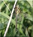 TL7085 : Hairy Dragonfly : Week 19