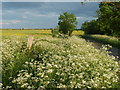 TL1184 : Cow Parsley In Full Flower by Michael Trolove