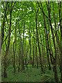 NS2680 : Woodland, near Meikleross Bay : Week 20