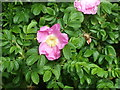 NJ9304 : Wild Rose by old Deeside Railway by Stanley Howe
