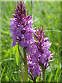 TL3847 : Southern Marsh Orchid (Dactylorhiza praetermissa) by Keith Edkins