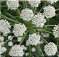 SO6425 : Floral starburst of Fool's parsley : Week 23