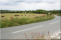 SW7643 : Cows by the Roadside by Tony Atkin