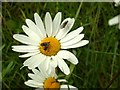 SE3209 : Oxeye Daisy and several insects by John Fielding