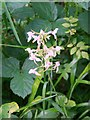 SU0019 : Lesser Butterfly-orchid (Platanthera bifolia) by Maigheach-gheal