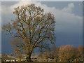 SP7821 : Oak Tree in Oving by Michael Stallwood