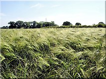 SJ7556 : Haslington - barley field by Mike Harris