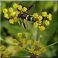 TL4758 : Hoverfly (Chrysotoxum bicinctum) on wild parsnip (Pastinaca sativa) by Keith Edkins